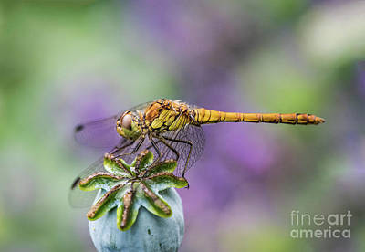 Dragonfly Garden Ornament Photograph - Poppy And The Dragonfly by Alex Hiemstra