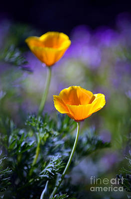 Photograph - Poppy Ballet by Deb Halloran