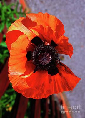 Photograph - Poppy Beauty by Jasna Dragun