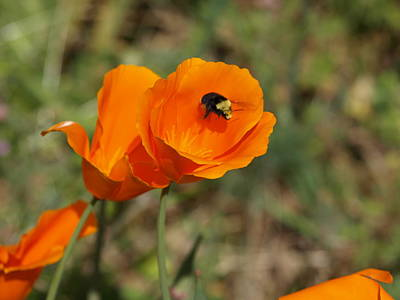 Poppy Beeing Admired Art Print by Laura Allenby