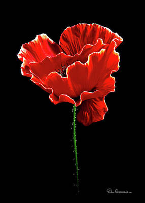 Dan Beauvais Royalty-Free and Rights-Managed Images - Poppy Blossom #1 by Dan Beauvais