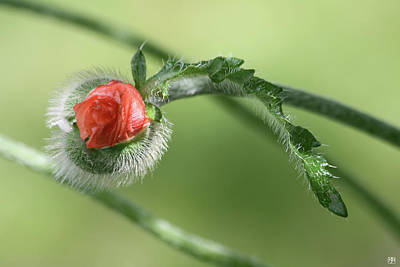 Photograph - Poppy Bud by John Meader