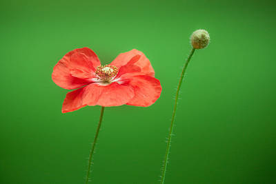 Poppy Art Print by Bulik Elena
