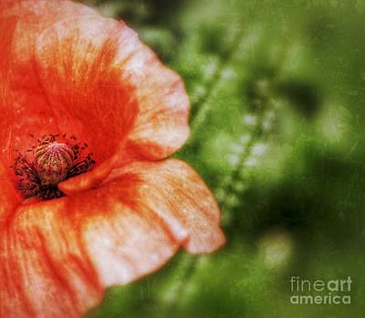 Photograph - Poppy Close by Isabella F Abbie Shores