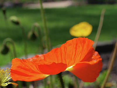 Photograph - Poppy Cup by Evelyn Tambour