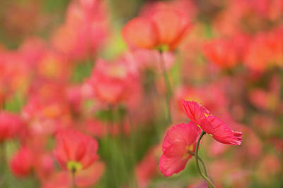 Photograph - Poppy Dancers by Kathleen Clemons