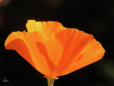 Photograph - Poppy by David Bader
