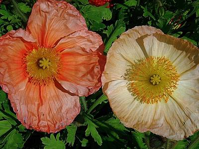 Photograph - Poppy Duo by Beth Akerman