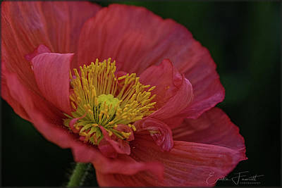 Photograph - Poppy by Erika Fawcett