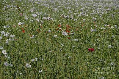 Soap Suds - Poppy Field by Jenny Potter