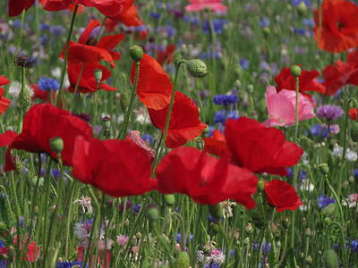 Photograph - Poppy Field by Vijay Sharon Govender