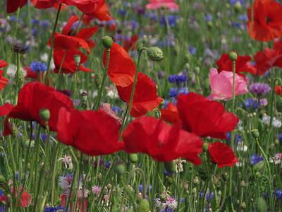 Photograph - Poppy Field by Vijay Sharon Govender