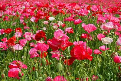 Photograph - Poppy Fields by Kathryn Meyer