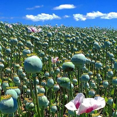 Photograph - Poppy Fields Table Cape Tasmania by Paul Dal Sasso