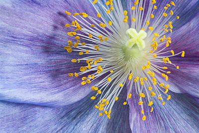 Photograph - Poppy Fireworks by Denise Bush
