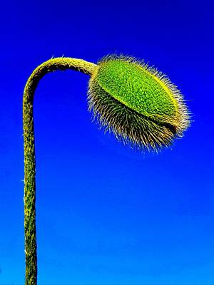 Photograph - Poppy Flower Bud by Colin Drysdale