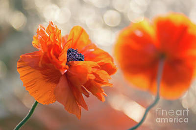 Flower Memorial Photograph - Poppy Flowers 1 by Ernesto Ruiz