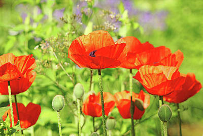 Photograph - Poppy Garden by Debbie Oppermann