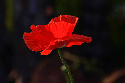Poppy Wall Art - Photograph - Poppy by Gary Wing