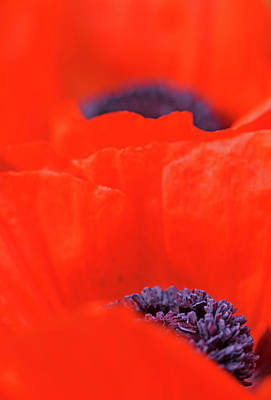 Photograph - Poppy Heart I by Debbie Oppermann