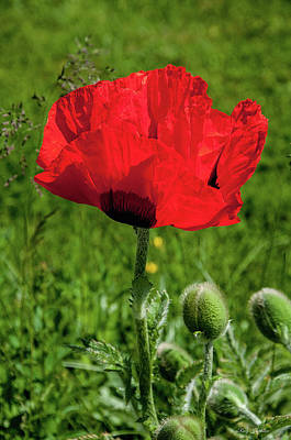 Photograph - Poppy In Bloom by Roxy Hurtubise