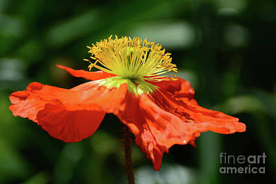 Photograph - Poppy In Orange by Cindy Manero