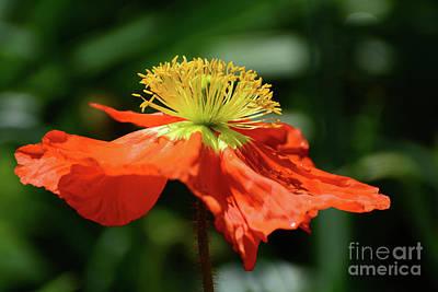 Photograph - Poppy In Orange by Cindy Manero
