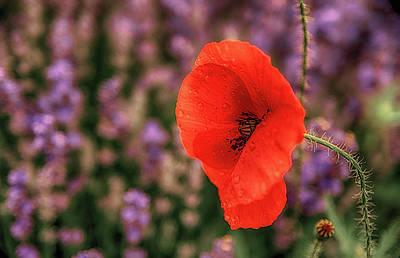 Poppy In The Lavender Field Art Print