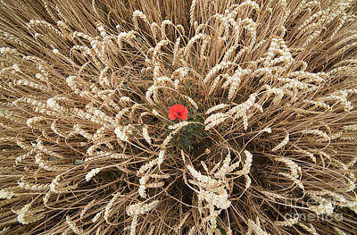 Photograph - Poppy In The Wheat Field by Giovanni Malfitano