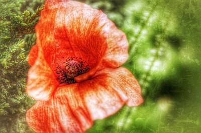 Photograph - Poppy by Isabella F Abbie Shores
