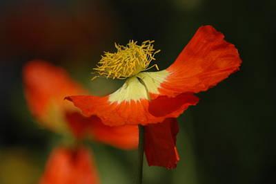Photograph - Poppy by Lori Mellen-Pagliaro