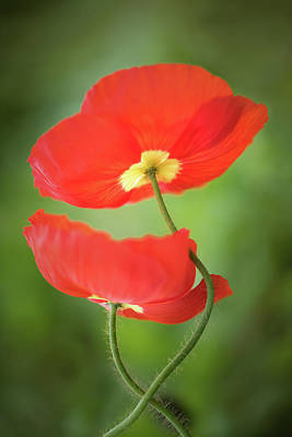 Photograph - Poppy Love by Kim Carpentier