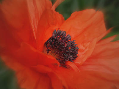 Poppy Love Art Print by Martin Morehead