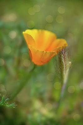 Photograph - Poppy Magic by Lynn Bauer