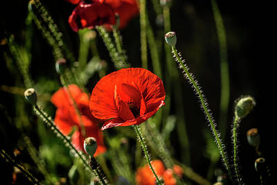 Photograph - Poppy New York_dsc8939_16 by Greg Kluempers