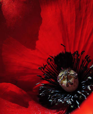 Poppy No. 2 Print by The Forests Edge Photography - Diane Sandoval