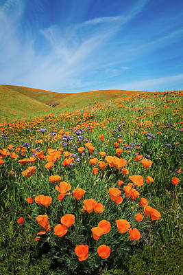 Photograph - Poppy Paradise by Lynn Bauer