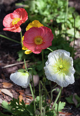 Photograph - Poppy Perfection by Suzanne Gaff