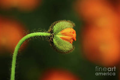 Photograph - Poppy Ready To Burst by Darren Fisher