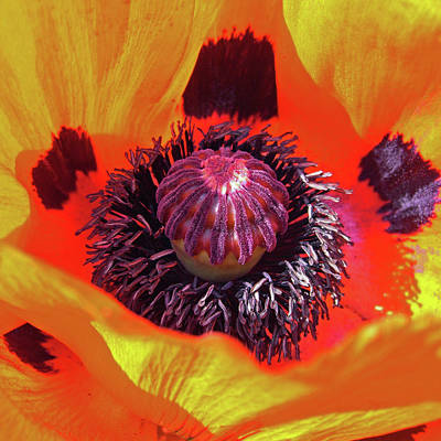 Photograph - Poppy by Robert Shard