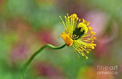Poppy Seed Capsule Original by Kaye Menner
