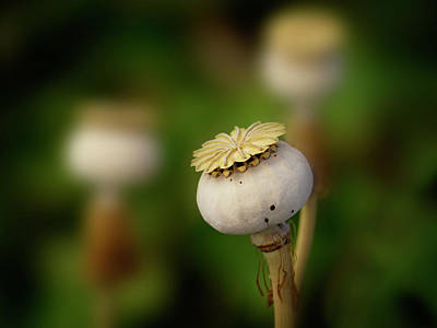 Photograph - Poppy Seed Pod - 365-147 by Inge Riis McDonald