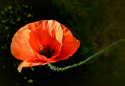 Photograph - Poppy Solo by Valerie Anne Kelly