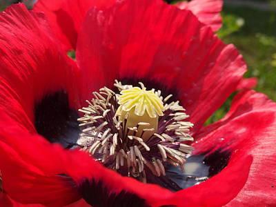 Photograph - Poppy by Somerled Karlsson