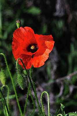 Photograph - Poppy Story by Chris Day