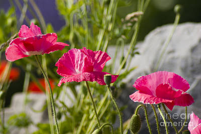 Photograph - Poppy Trio by Louise Magno