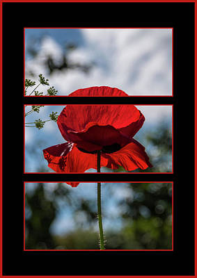 Photograph - Poppy Triptych by Martina Fagan