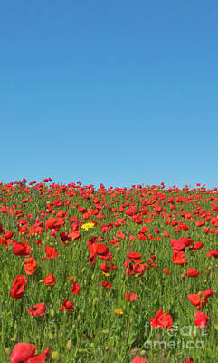 Photograph - Poppy Triptych Panel 2 by Terri Waters