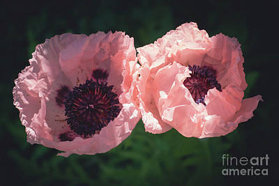 Photograph - Poppy Twins by Cheryl Baxter