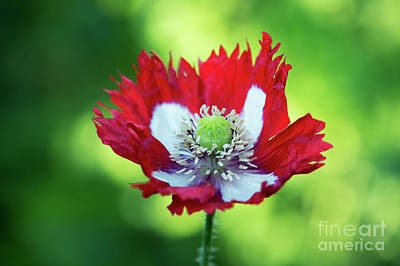 Poppy Victoria Cross Art Print by Tim Gainey